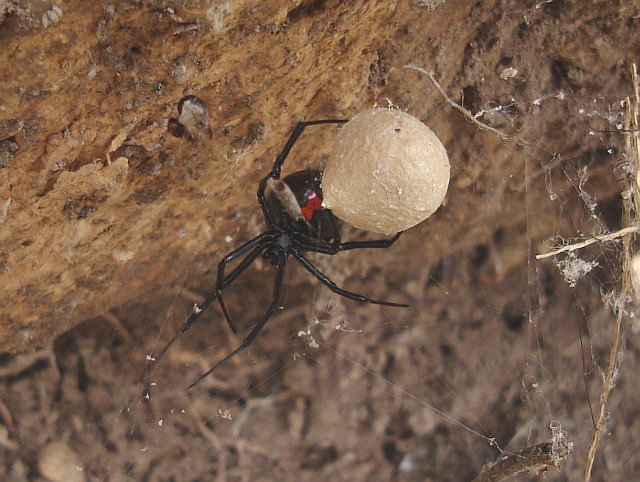 Black widow spider eggs - photo#4