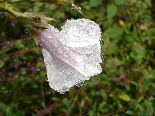 bonne nuit dans image bon nuit, jour, dimanche etc. ipomoea-purpurea-white-purple-with-raindrops-2