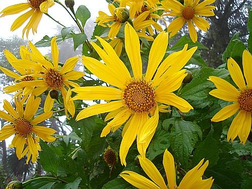 Flowers in the rain near tlalnelhuayocan part 2 several large yellow flowers mightylinksfo