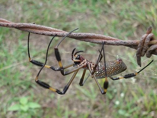http://johnbokma.com/mexit/2006/12/10/female-nephila-clavipes-golden-silk-orb-weaver-2.jpg