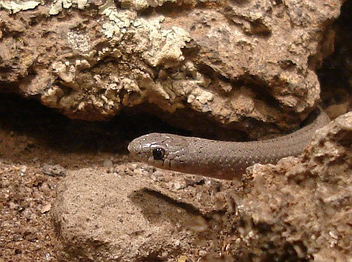 http://johnbokma.com/mexit/2006/12/13/close-up-conopsis-lineata-tolucan-ground-snake.jpg