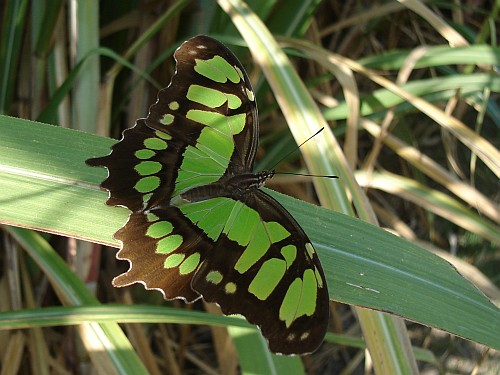 green-butterfly-on-sugarcane-leaf.jpg