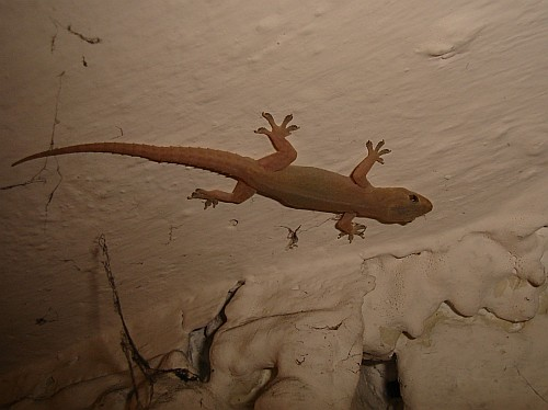 House Gecko On The Ceiling