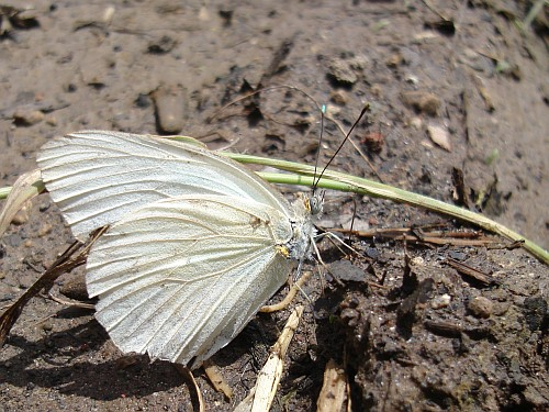 Close-up of a white butterfly,