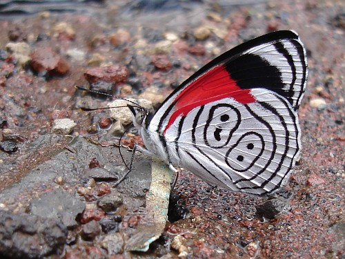 diaethria-species-88-butterfly-drinking.jpg