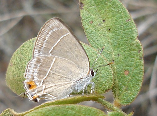 Hairstreaks Butterfly