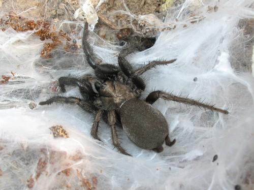 Tarantula Web Funnel-web Tarantula Euagrus