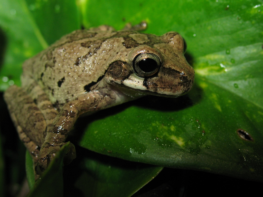 Close Up Of A Mexican Tree Frog Smilisca Baudinii